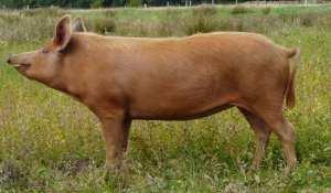 Tamworth pig breeds agro4africa