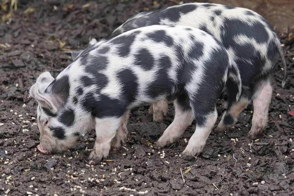 Turopolje pig breeds agro4africa