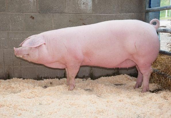 Welsh pig breeds agro4africa