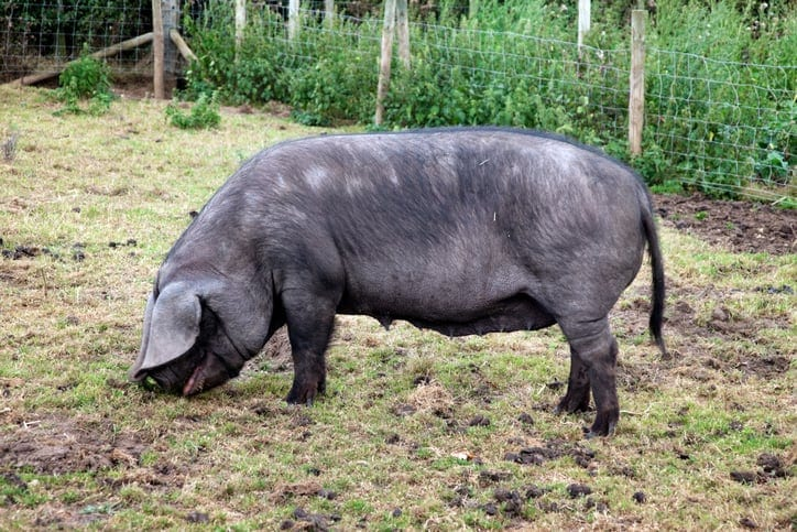 mulefoot pig breeds agro4africa