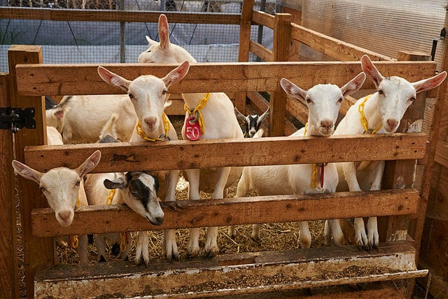 goats-in-a-goat-house-goat-farming-business
