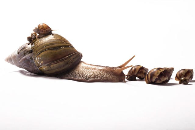 snails-are-prolific-breeders