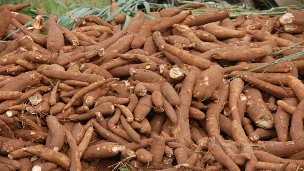 good cassava yield