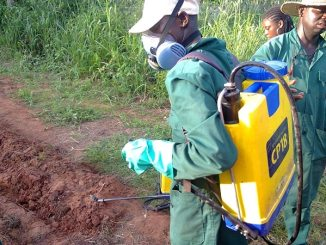 spraying herbicides to control weeds in a cassava farm