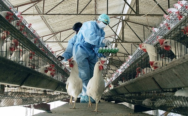 Poultry-farm-workers-picking-eggs-easily-in-a-well-constructed-poultry-farm