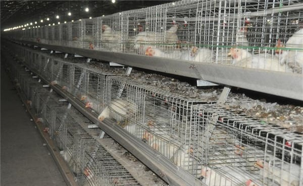 poultry battery cage for broiler farming