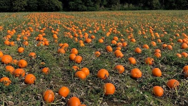 pumpkin-field-growing-guide