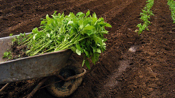 transplanting tomato seedlings to the garden- tomato farming process