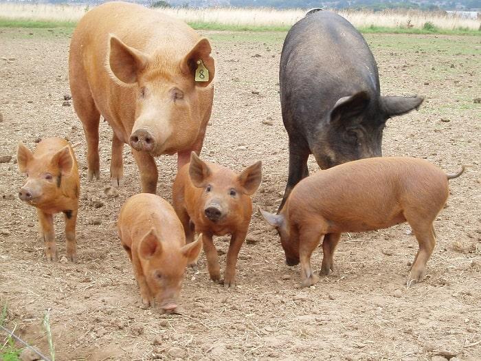 Tamworth pigs foraging in a pig farm