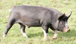 berkshire pig characteristics
