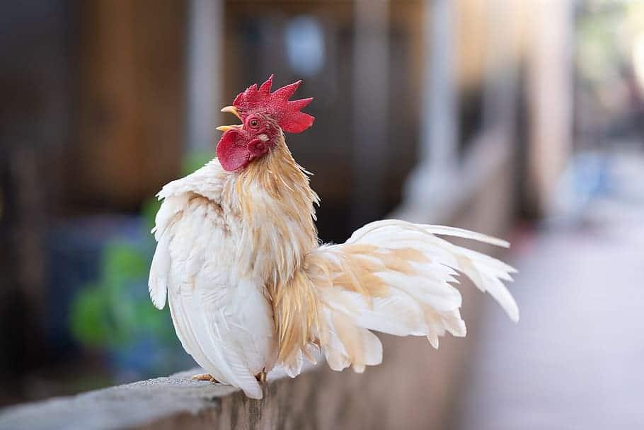 Serama Chicken – Characteristics, Origin, Breed Info and Lifespan