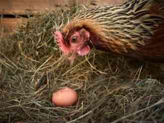 chicken eating egg