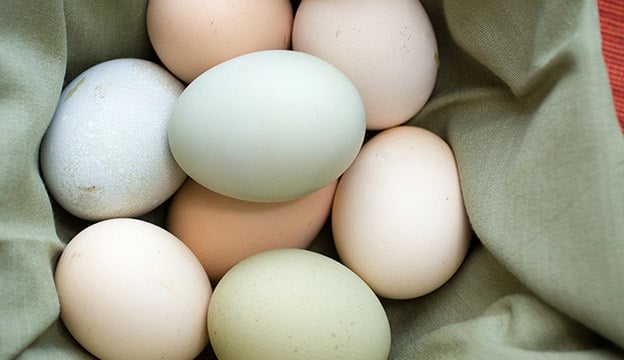 layer-chickens eggs