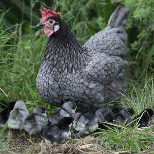 minorca-chicken-with-her-chicks