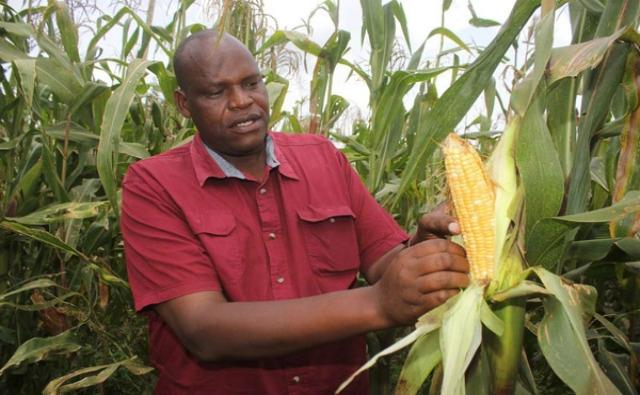 Permitan a los agricultores cultivar maíz OGM, solicitan los científicos en Kenia