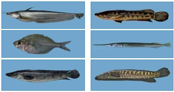 রাক্ষুসে মাছ