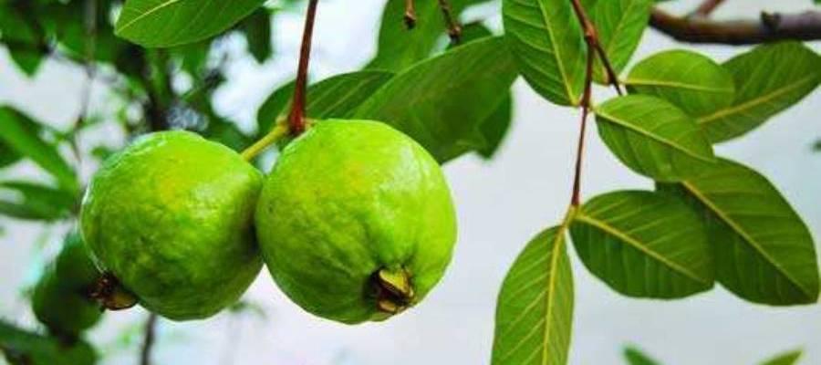 Guava Roof garden