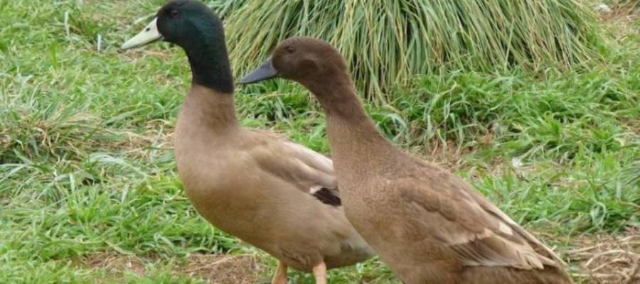 Khaki Cambell Duck