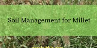 management for millet