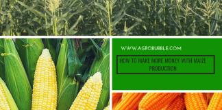Maize Production