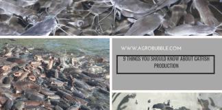 Catfish farming in Nigeria 2022