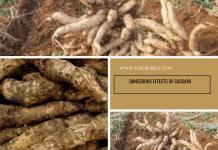 Cassava - Agrobubble
