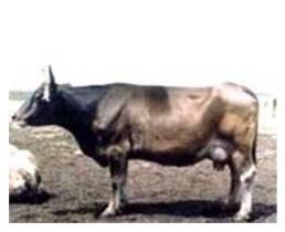 Картинки по запросу Кавказская бурая порода коров фото