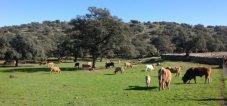 ganado bovino sierra de huelva
