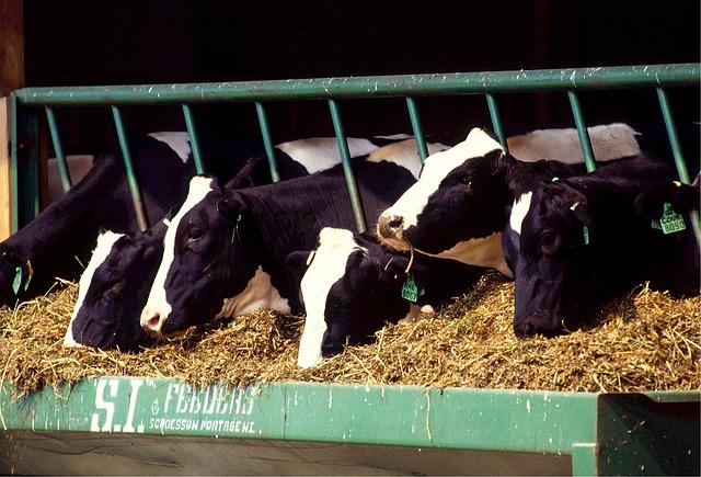 En la estabulación los animales se sitúan de acuerdo a su tamaño y peso, y se les proporciona aliementación adecuada
