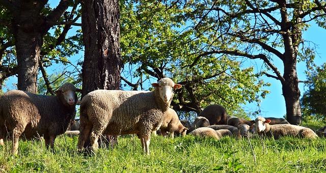 Las especies ganaderas ecológicas son variadas, aquí tenemos una oveja