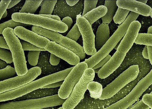 Los microorganismos eficientes comprender varios grupos de bacterias