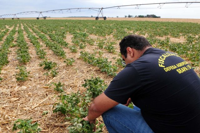 Agricultura notifica produtores rurais que descumprem vazio sanitário do feijão