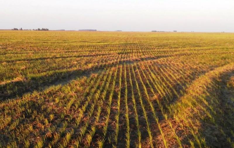 a plantacao arroz 15 1 18