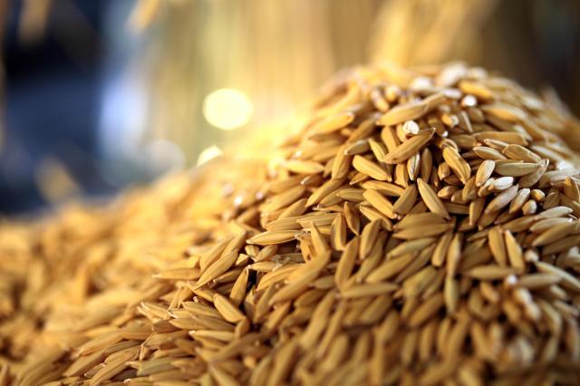 arroz em casca embrapa