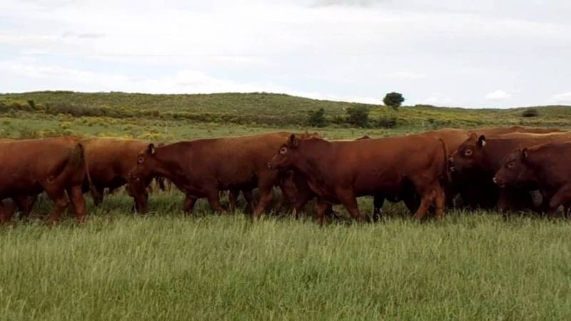red angus youtube