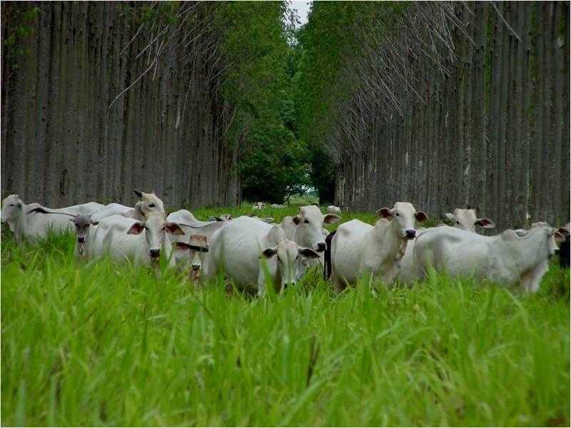 bovinos vivos 12