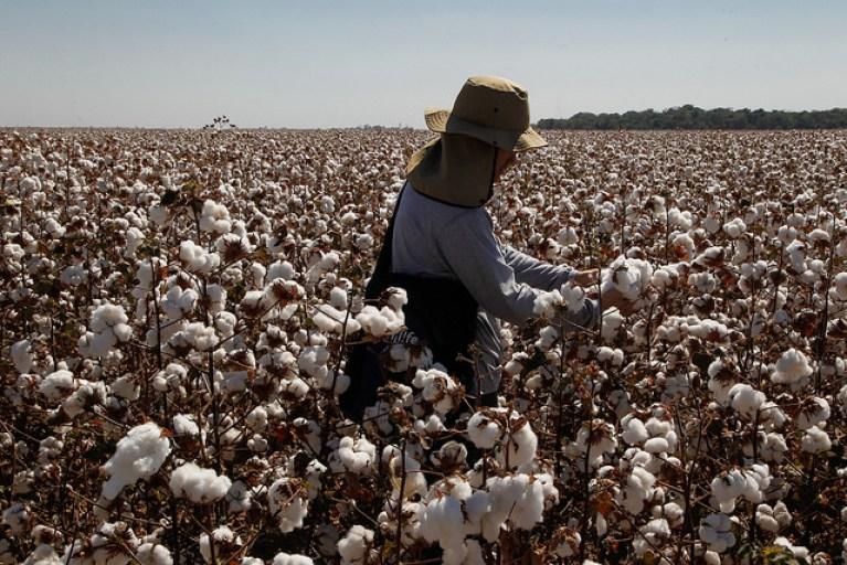 algodao plantacao trabalhador