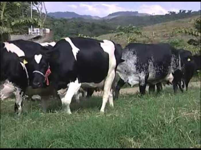 vaca leiteira youtube