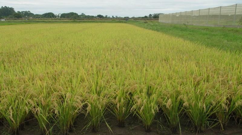 arroz irrigado to