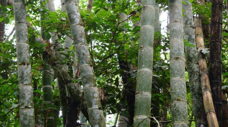 bambu 0 embrapa 15 5