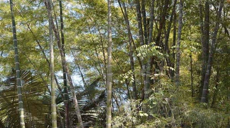 bambu 1 embrapa 15 5