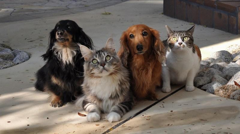 caes gatos ebc 7 6
