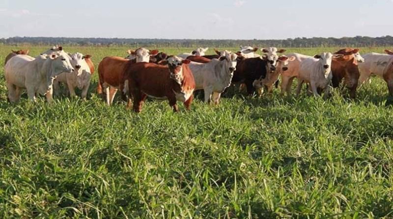 feijao gado embrapa 6 6