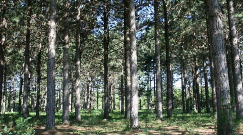 florestas plantadas 22