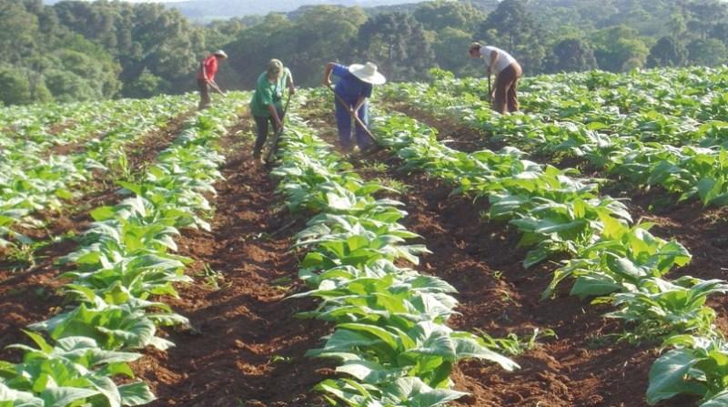 plantacao fumo agricultores iapar
