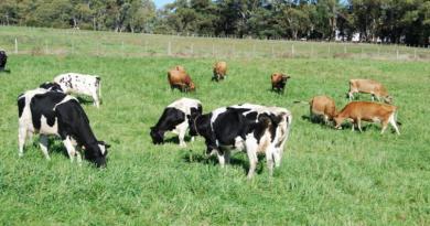 Produtividade de vacas leiteiras é tema de seminário online nesta segunda-feira