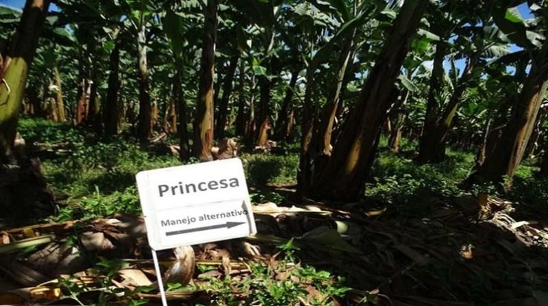 banana plantacao 30 7 - 7