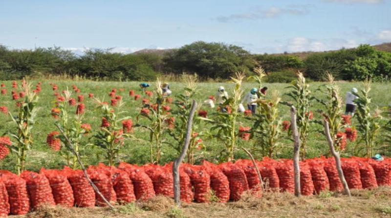 colheita cebola embrapa 23 7 marcelino ribeiro
