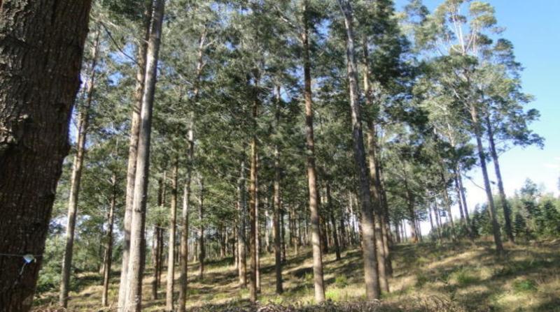 florestas plantadas 25 7 18