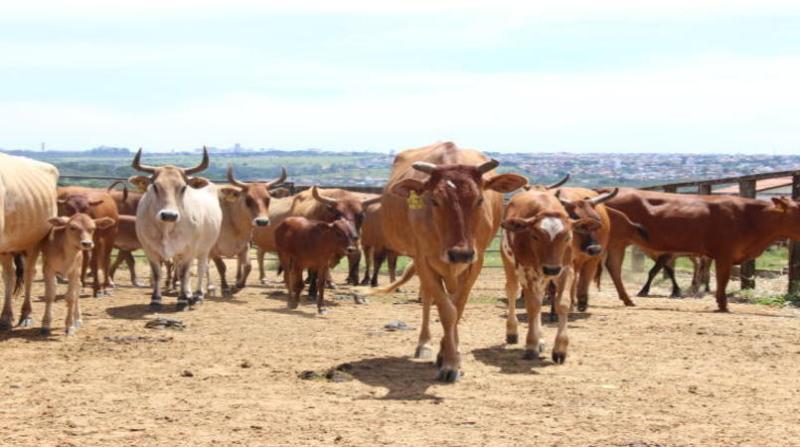 gado embrapa 1 7